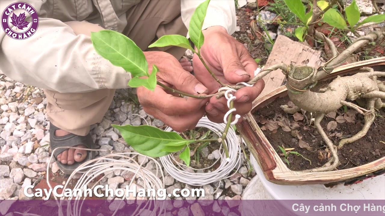 192. Cắt tỉa bonsai Cây Tứ quý - Cây cảnh Chợ Hàng