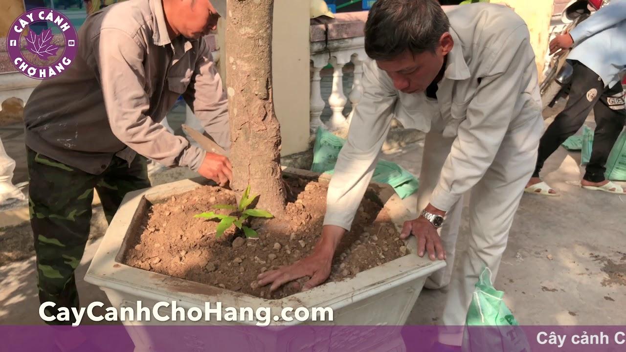 196. Trồng cây lộc vừng tại trường THPT Hùng Vương (22.10.2019) - Cây cảnh Chợ Hàng