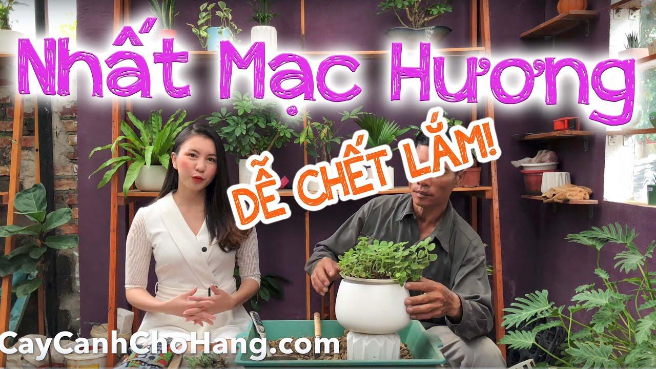 210. Cách trồng và chăm sóc cây Nhất Mạt Hương - CayCanhChoHang.com