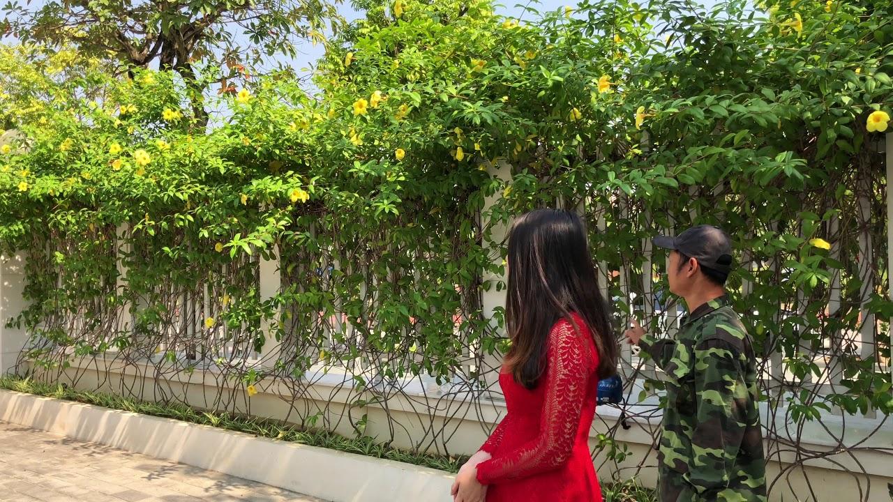 222. Hoa Chuông vàng (Quỳnh Anh), Biệt thự Lê Hồng Phong (Phần 1) - CÂY CẢNH CHỢ HÀNG