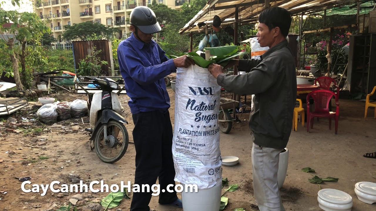 223. Đóng gói và vận chuyển cây đi Hải Dương  - CÂY CẢNH CHỢ HÀNG