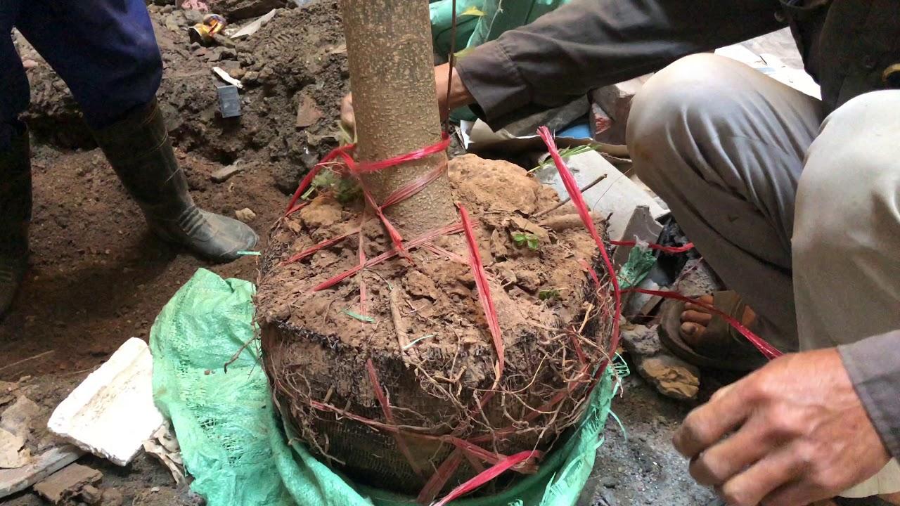 231. Trồng cây BÀNG ĐÀI LOAN vào giếng trời tại Trần Thành Ngọ, Kiến An, Hải Phòng