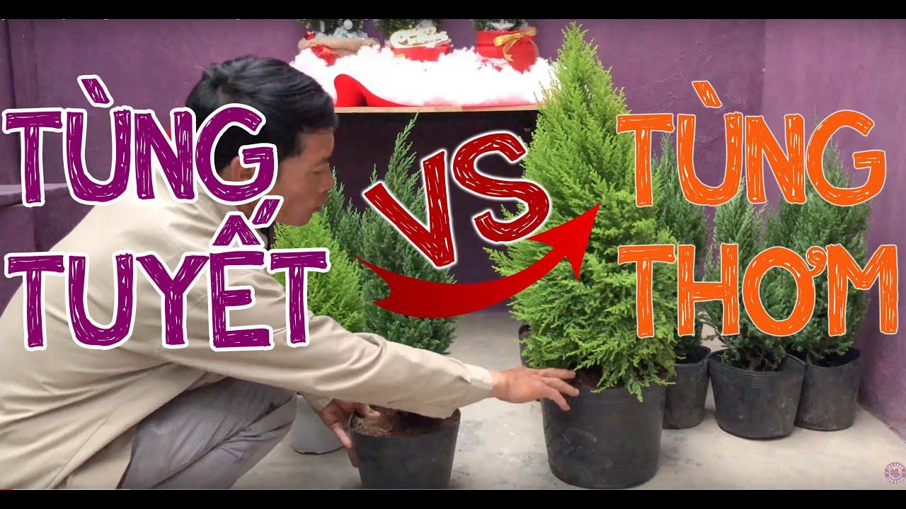 238.Cây thông Noel nên chọn Tùng Thơm hay Tùng Tuyết? - CÂY CẢNH CHỢ HÀNG
