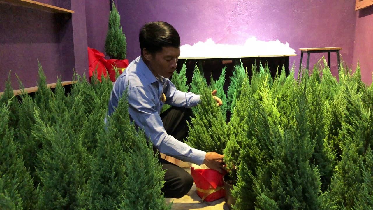 242. Hướng dẫn chăm sóc cây Tùng Thông NOEL trong dịp Giáng sinh 2019 - CÂY CẢNH CHỢ HÀNG