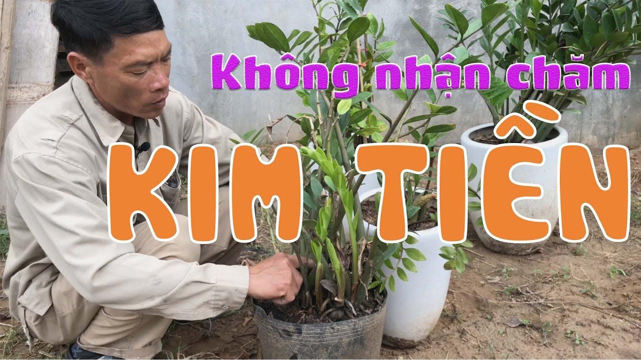[254] Tại sao các nhà vườn không muốn nhận chăm sóc lại cây Kim Tiền - CÂY CẢNH CHỢ HÀNG