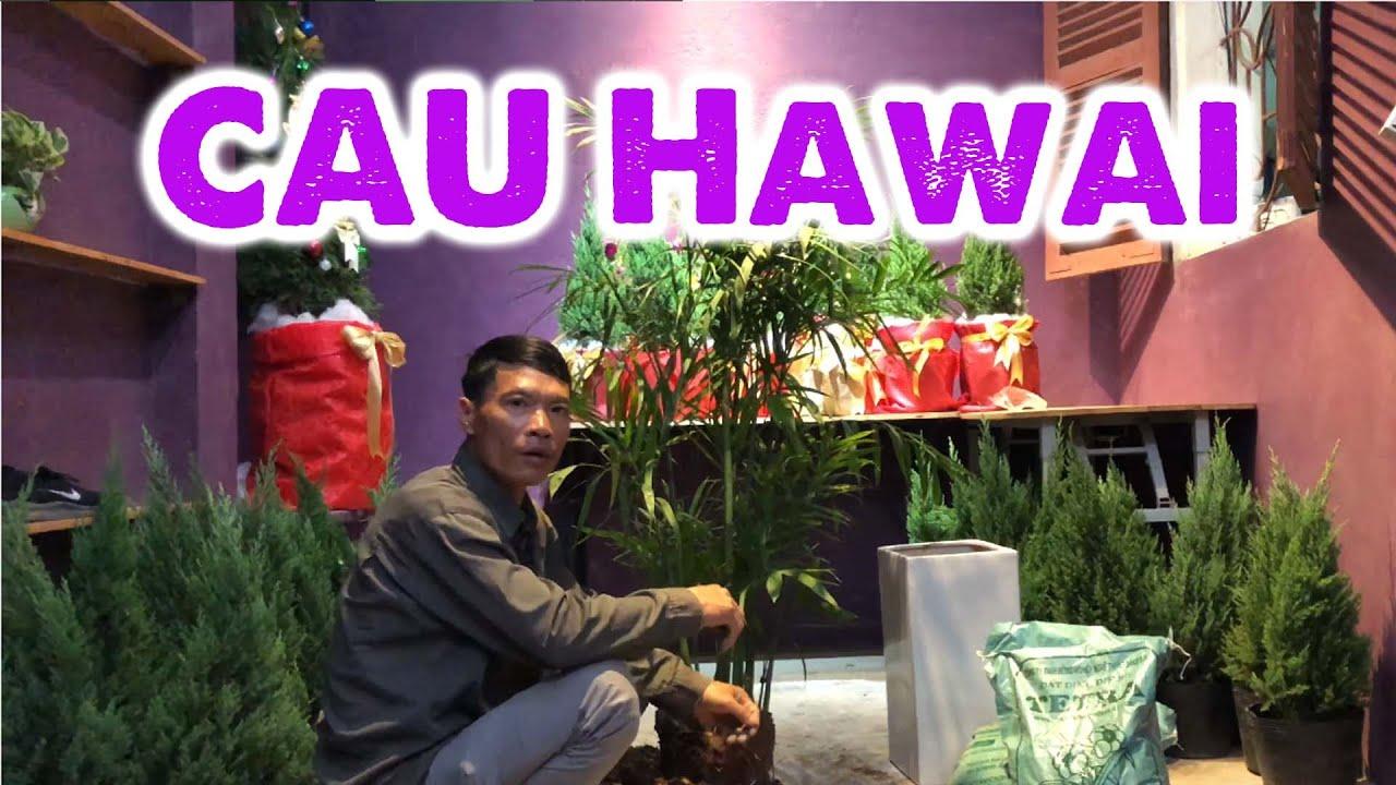 262. Trồng cây cau Hawai - CÂY CẢNH CHỢ HÀNG