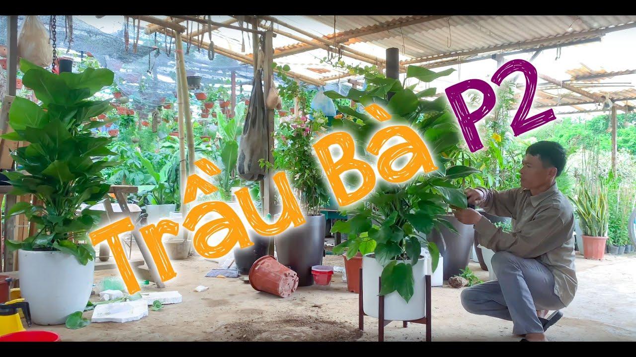 3. Hướng dẫn trồng và chăm sóc Cây Trầu bà trụ (Phần 2) - Cây cảnh Chợ Hàng