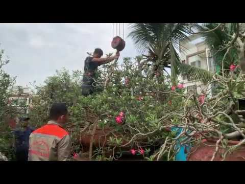 32. Cẩu cây Hoa sứ to nhất Hải Phòng (Phần 1) - Cây cảnh Chợ Hàng