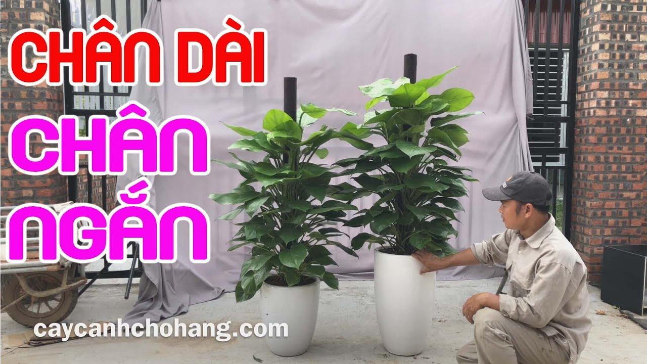 443. So Sánh Trầu Bà Trụ Leo Cột Chậu Chân Dài & Chân Ngắn | CÂY CẢNH CHỢ HÀNG | Hải Phòng