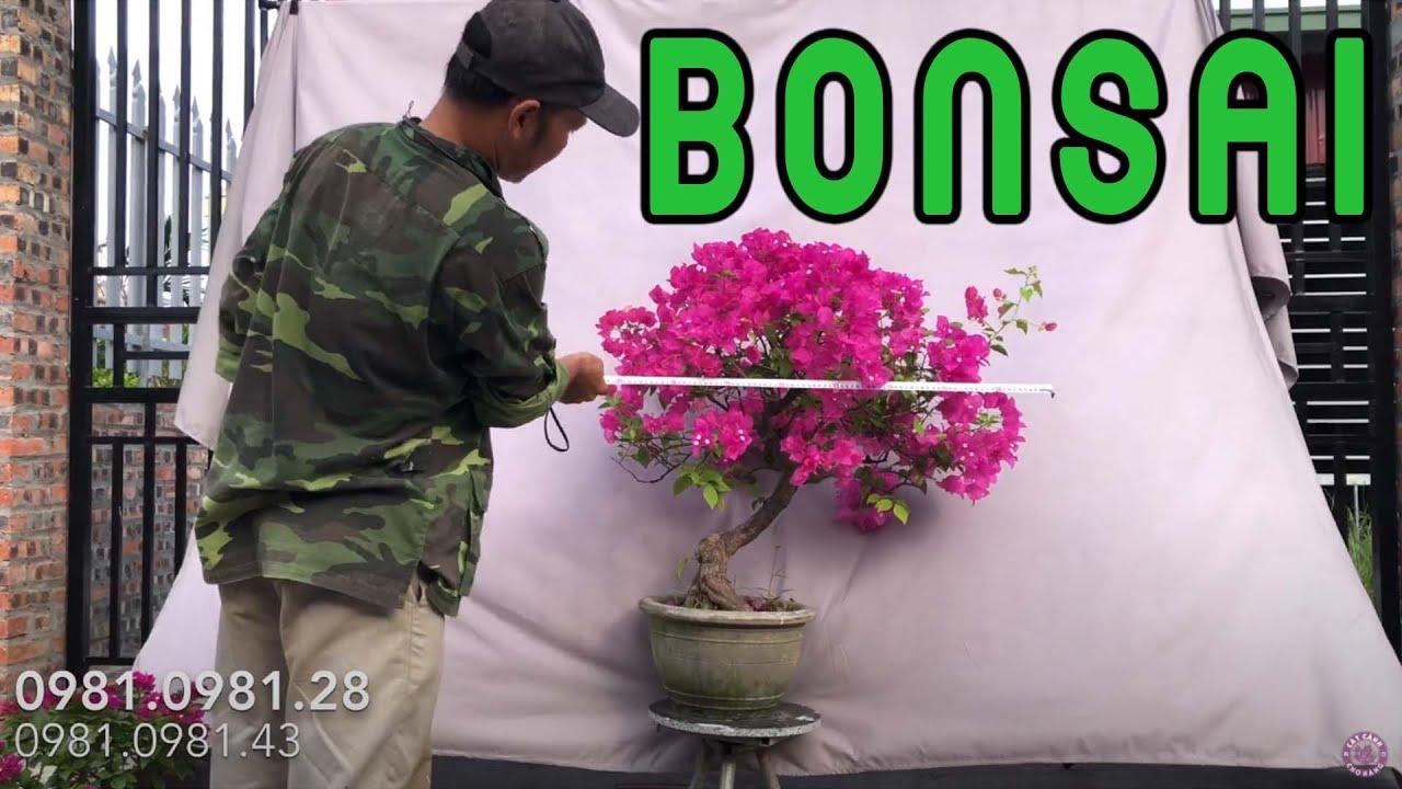 448. Báo Giá Tác Phẩm Bonsai Hoa Giấy Rộ Hoa Tại Vườn | CÂY CẢNH CHỢ HÀNG | Hải Phòng