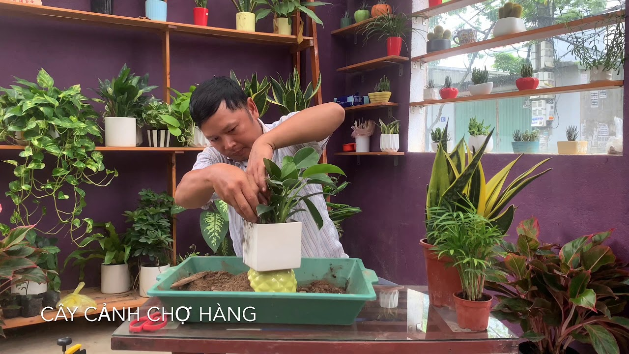 47. Cây Đế vương xanh để bàn - Chuyển chậu sau nửa năm trồng - Cây cảnh Chợ Hàng