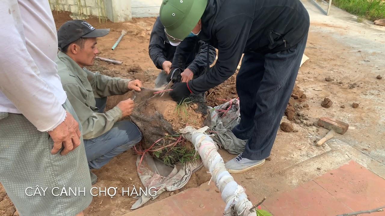 56. Trồng cây Mít thái tại Lâm Động, Thủy Nguyên - Cây cảnh Chợ Hàng