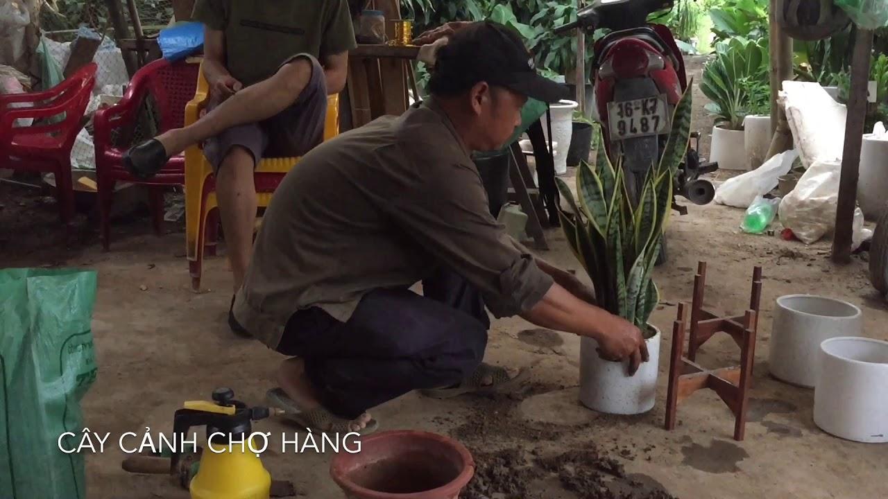 58. Trồng lưỡi hổ trực tiếp cho khách hàng tại Trang trại - Cây cảnh Chợ Hàng