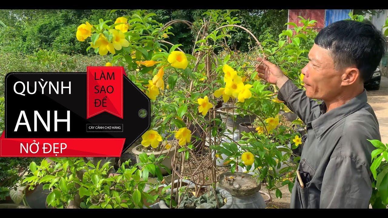 6. Hướng dẫn trồng và chăm sóc cây Hoa Quỳnh Anh - Chuông Vàng (Phần 1) - Cây cảnh Chợ Hàng