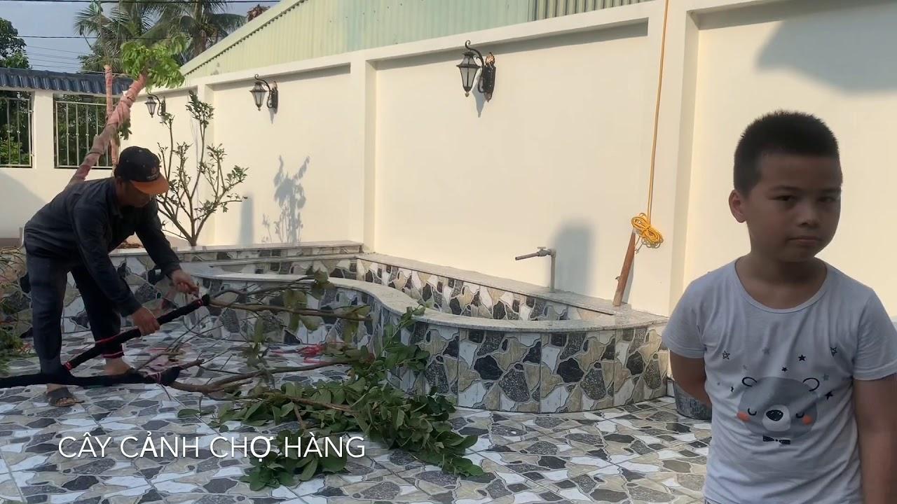 73. Kỹ thuật trồng cây Ổi (Phần 1) - Cây cảnh Chợ Hàng