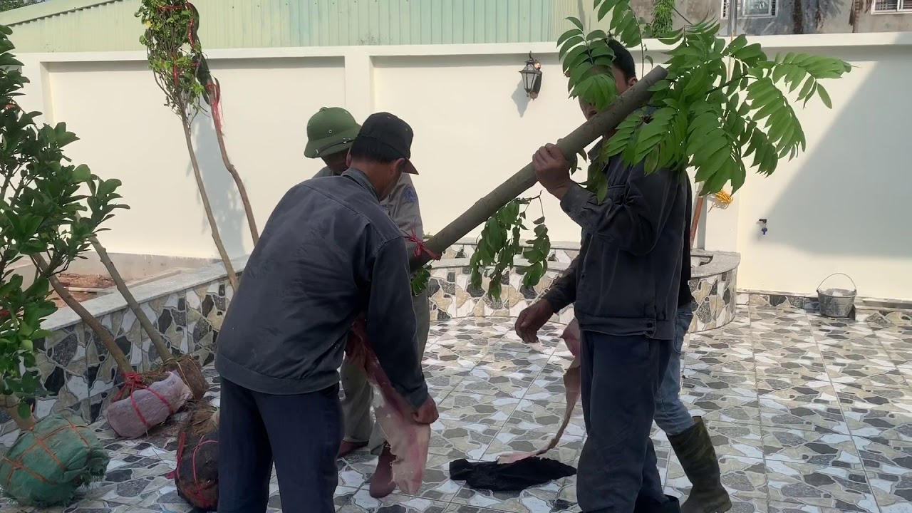 75. Cây Chay (Phần 2) - Hướng dẫn cắt lá trước khi trồng - Cây cảnh Chợ Hàng