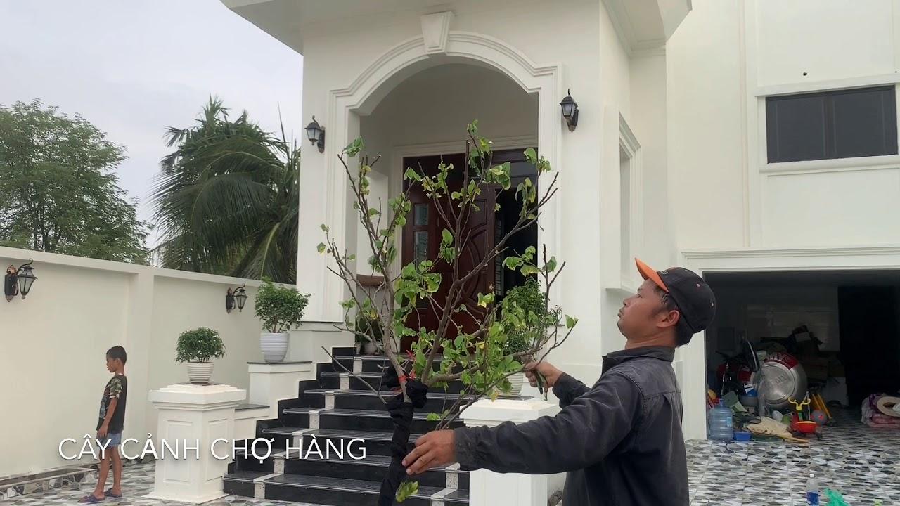 85. Cây khế (Phần 2) - Cắt lá trước khi trồng - Cây cảnh Chợ Hàng