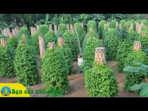 Áp dụng phương pháp mới trong việc trồng và chăm sóc cây tiêu