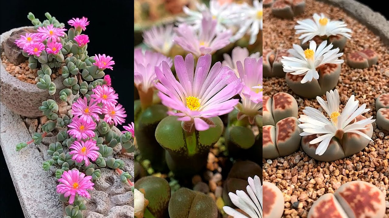 Beautiful Succulents Bloom Before Your Eyes| Sen đá nở hoa tuyệt đẹp| 多肉植物| 다육이들 | Suculentas