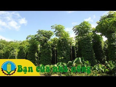 Biện pháp tăng năng xuất vườn tiêu bằng cách trồng nọc sống