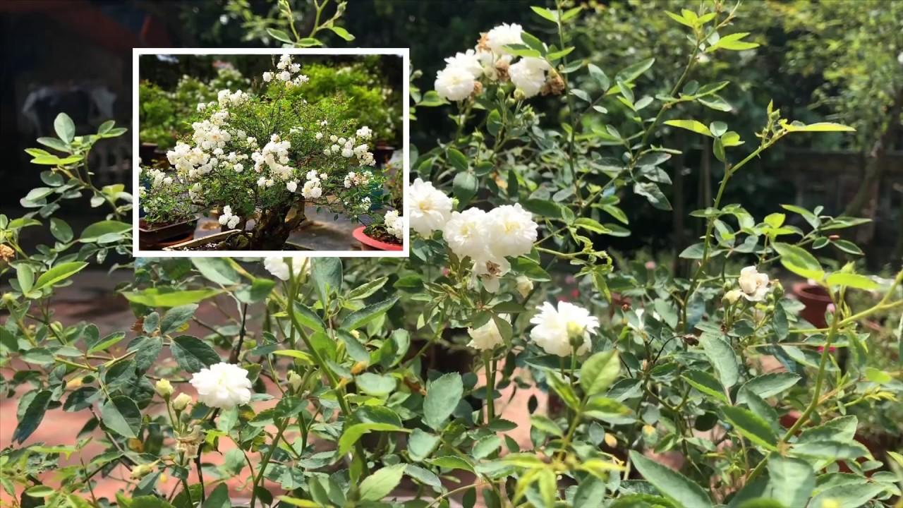 Bonsai hoa hồng bạch trà sai hoa thơm nức mũi