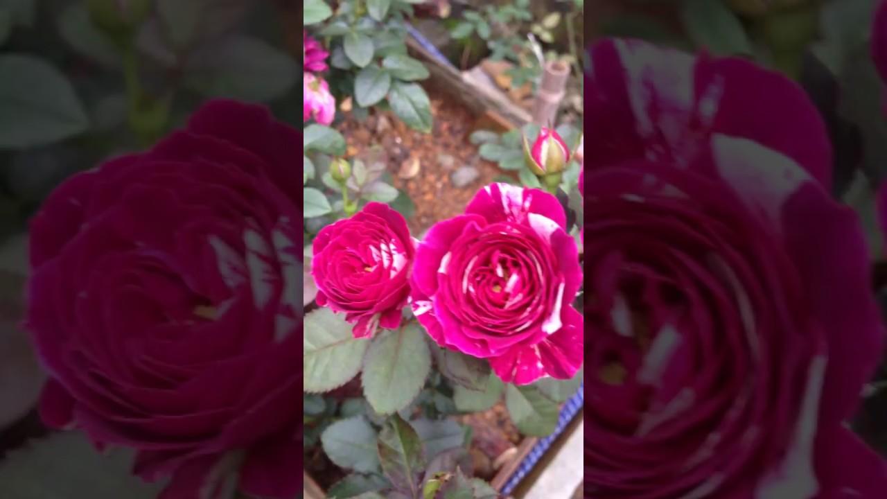 Bonsai hoa hồng chuẩn rose garden