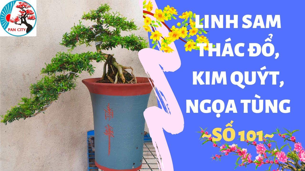 Bonsai số 101 | Báo giá bonsai Vườn Thủ Đức có Linh Sam thác đổ, Kim Quýt, Ngọa Tùng....| Pan City