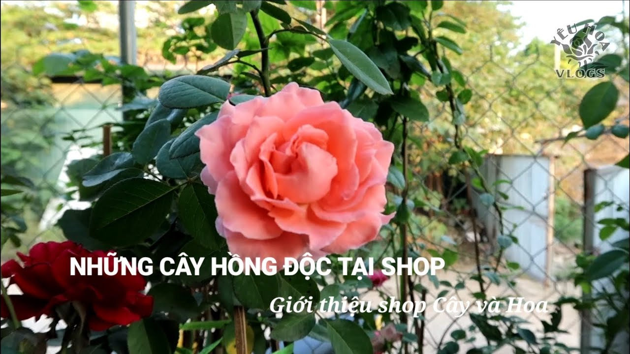 Các giống Hoa hồng ngoại độc đáo tại shop Yêu Hoa hồng