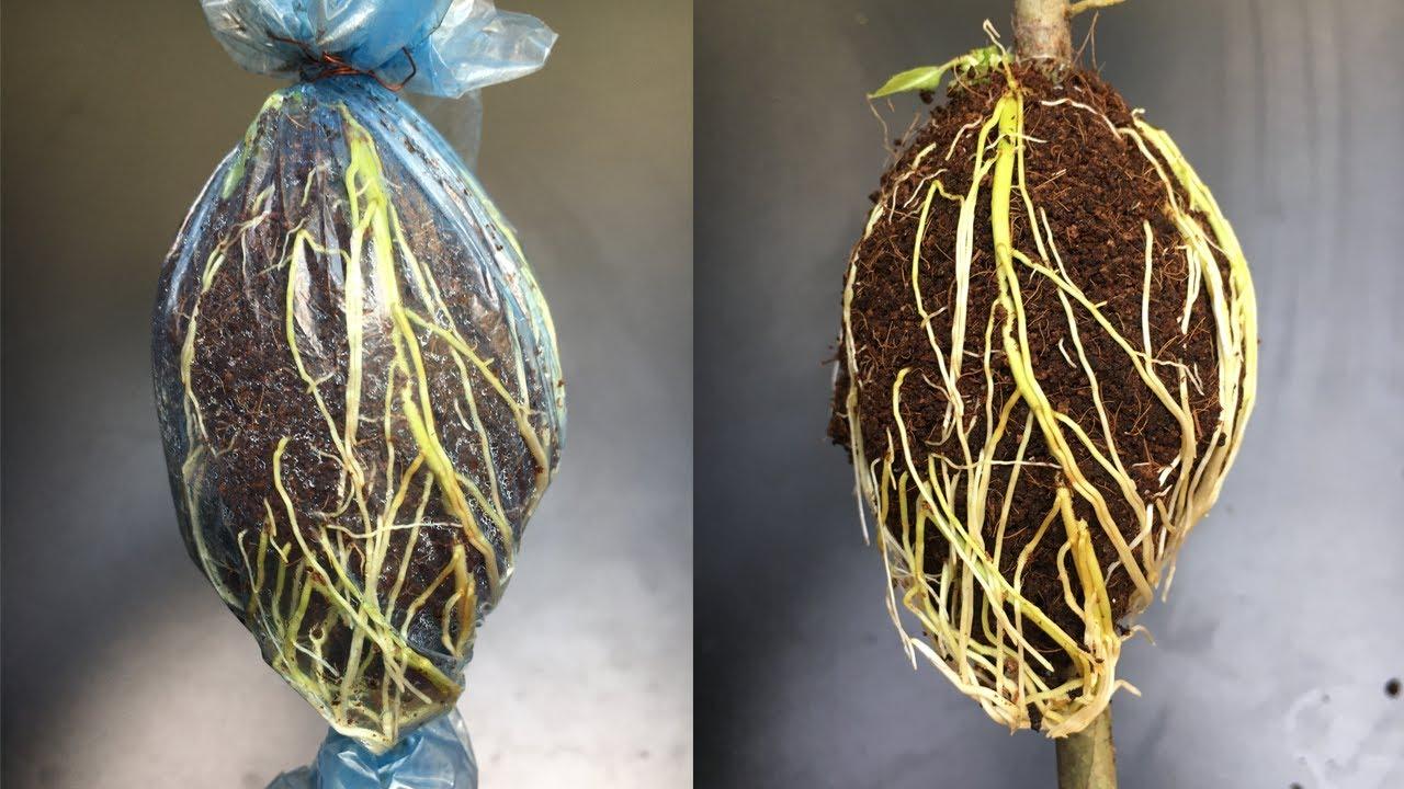 Cách chiết cành bằng xơ dừa ra rễ cực nhiều - Extracting branches easily with coconut fiber