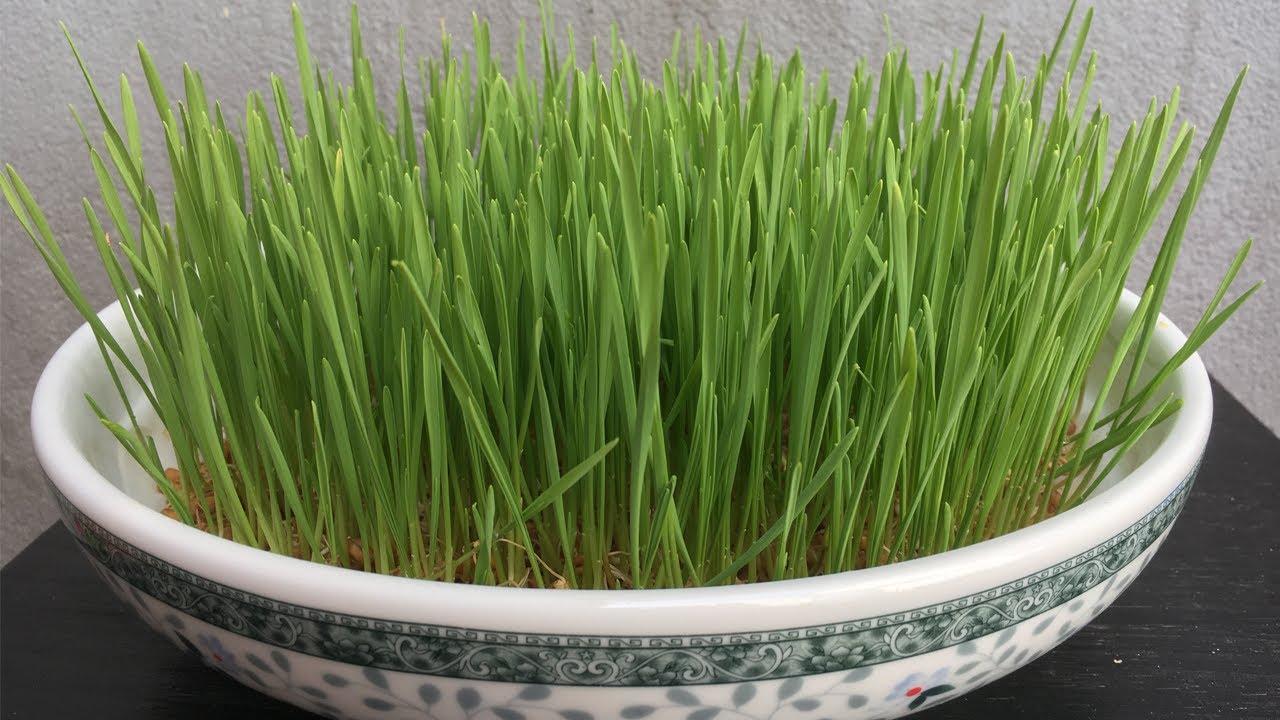 Cách trồng cỏ lúa mì tại nhà không cần đất ít người biết - Planting wheat grass