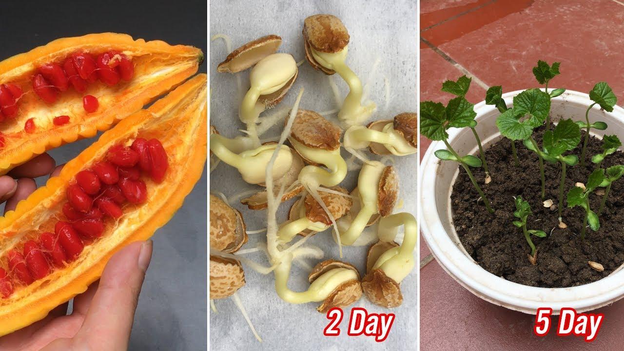 Cách trồng mướp đắng này không phải mất tiền mua hạt giống - Planting bitter melon