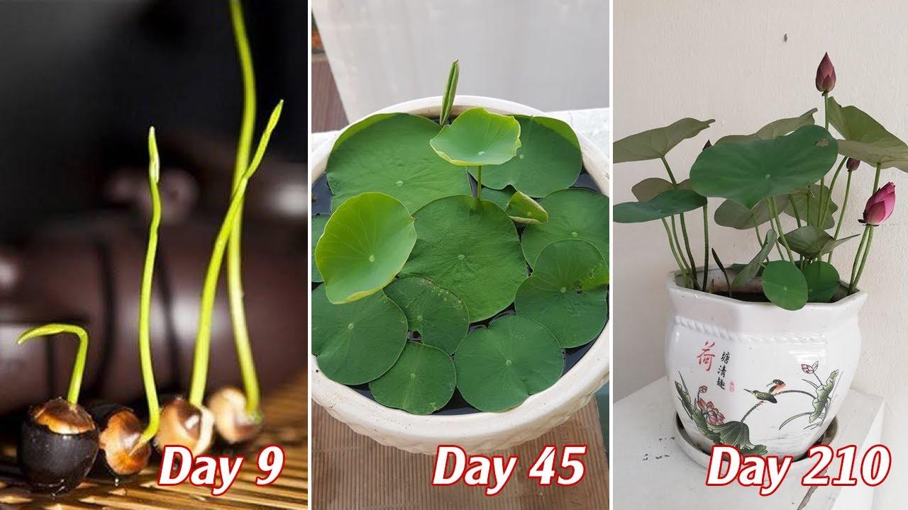 Cách trồng sen mini từ hạt đơn giản với cả người mới bắt đầu