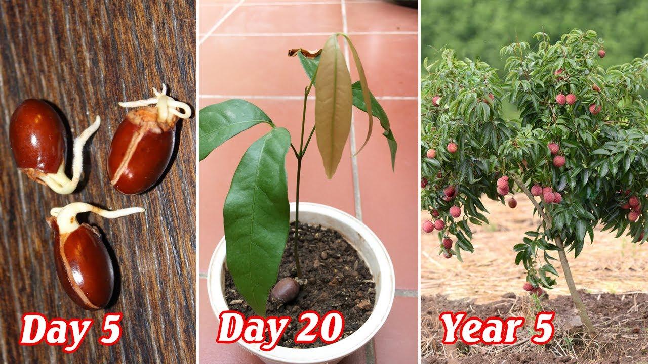 Cách trồng vải từ hạt nảy mầm sau 10 ngày - how to grow litchi from seeds