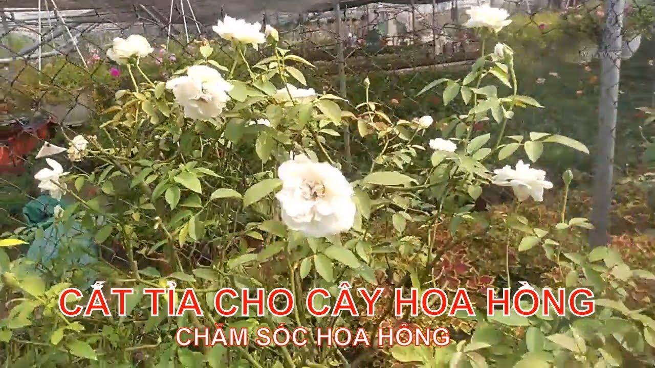 Cắt tỉa cho cây hoa hồng sai hoa   Hoa Hồng vlogs   Rose trees garden