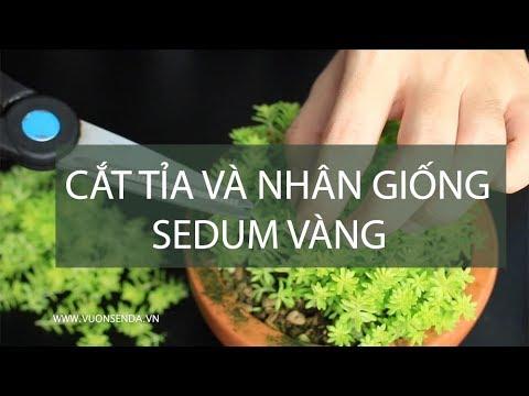 Cắt tỉa và Nhân giống sedum vàng | www.vuonsenda.vn
