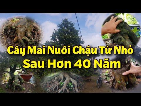Cây Mai Nuôi Chậu Từ Nhỏ Sau Hơn 40 Năm - Mai Phú Yên