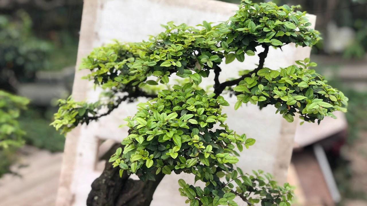 Cây bonsai chanh trâu đẹp có 1 không 2,분재,盆栽