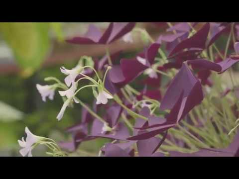 Cây bướm đêm ra hoa tuyệt đẹp| Oxalis Triangularis blooming | www.vuonsenda.vn