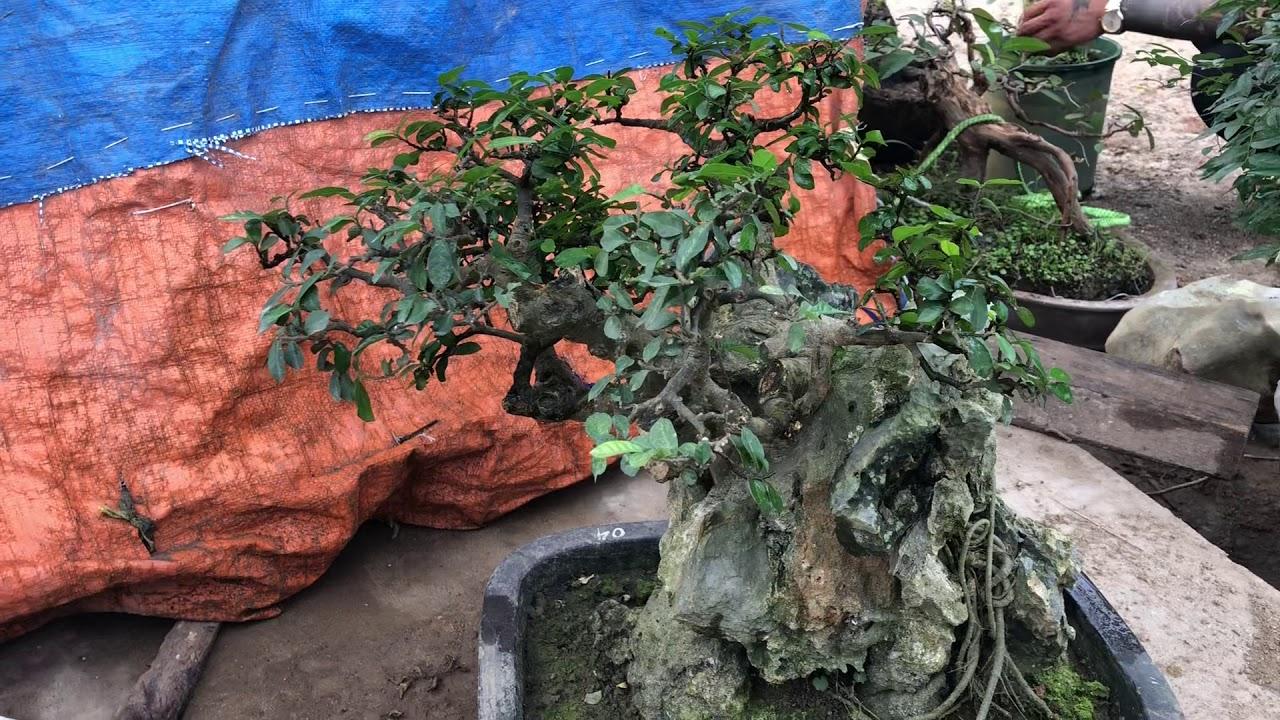 Cây duối già bonsai ôm đá cực đẹp