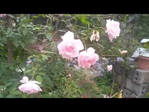 Cây hoa hồng đào cổ nhà em hoa sai quá   Hồng đào cổ dễ chăm sóc, hoa thơm