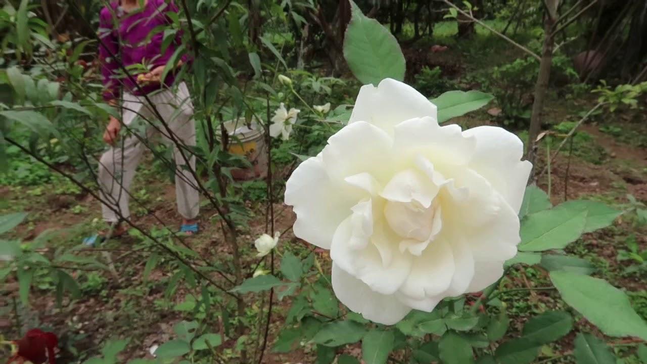 Cây hồng Bạch Ho nhà em nở hoa đẹp quá   hồng bạch cổ trắng tinh khôi