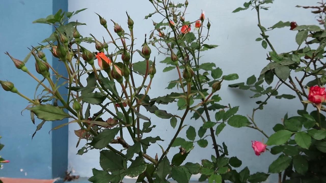 Cây hồng Tỷ Muội sai hoa quá | Hoa hồng nở đúng dịp Tết 2019