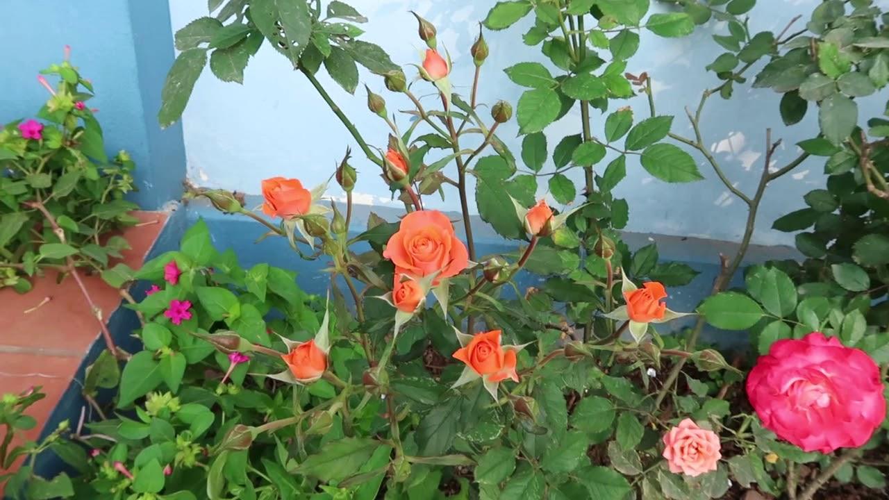 Cây hồng tỉ muội nhà em đang trĩu hoa   Hoa hồng tỉ muội rất dễ chăm sóc