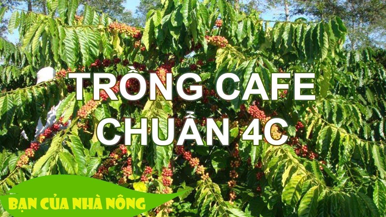 Chăm sóc CÂY CAFE THEO CHUẨN 4C - Kiến thức quan trọng cho người nông dân muốn thay đổi