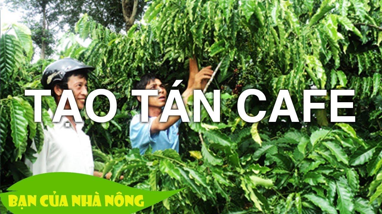 Chế độ dinh dưỡng và Kinh nghiệm tạo hình cho cây Cafe (Cà Phê) sau thu hoạch