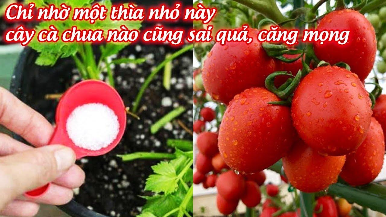 Chỉ nhờ 1 thìa nhỏ này, cây cà chua nào cũng sai quả căng mọng - trồng cà chua