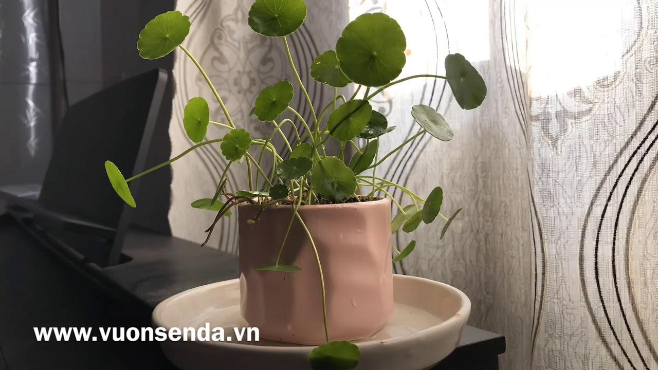 Cỏ đồng tiền sau khi tưới đầy đủ nước | www.vuonsenda.vn