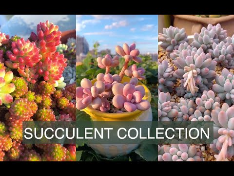 Colorful succulent collection| Bộ sưu tập sen đá đầy màu sắc| 多肉植物 | 다육이들