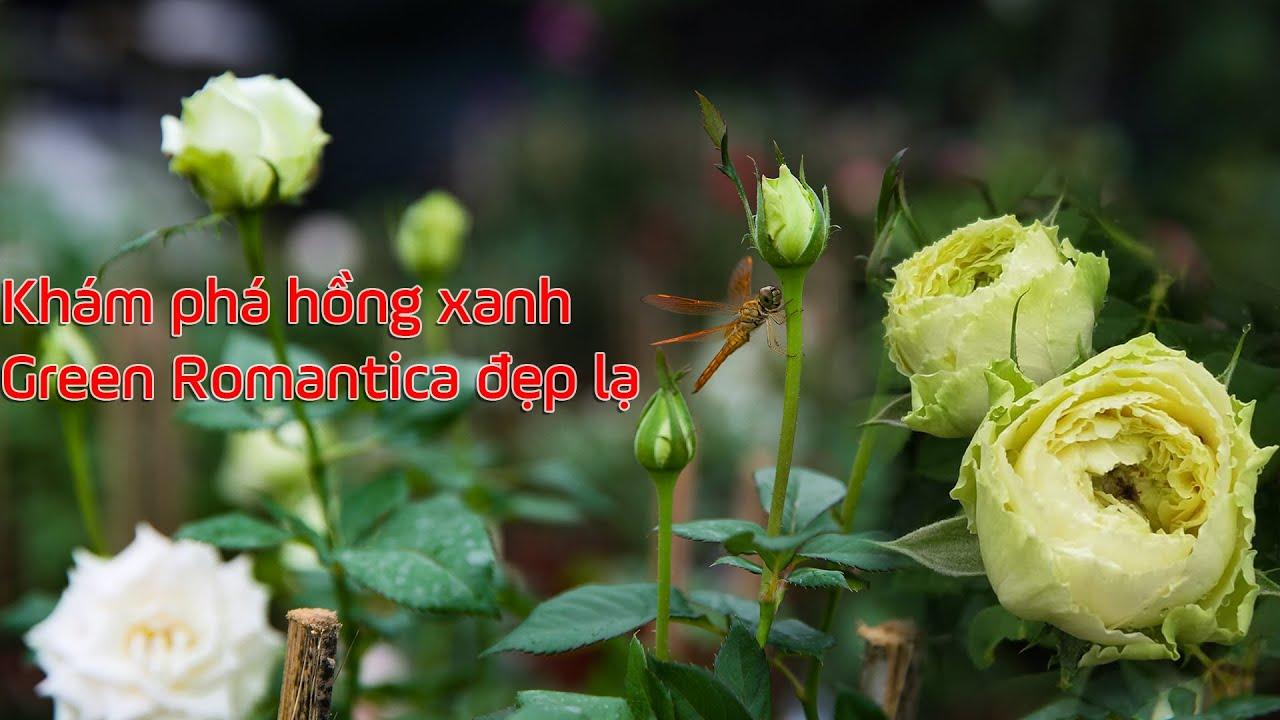 Cực mát mắt với bông hồng Green Romantica màu xanh đẹp lạ