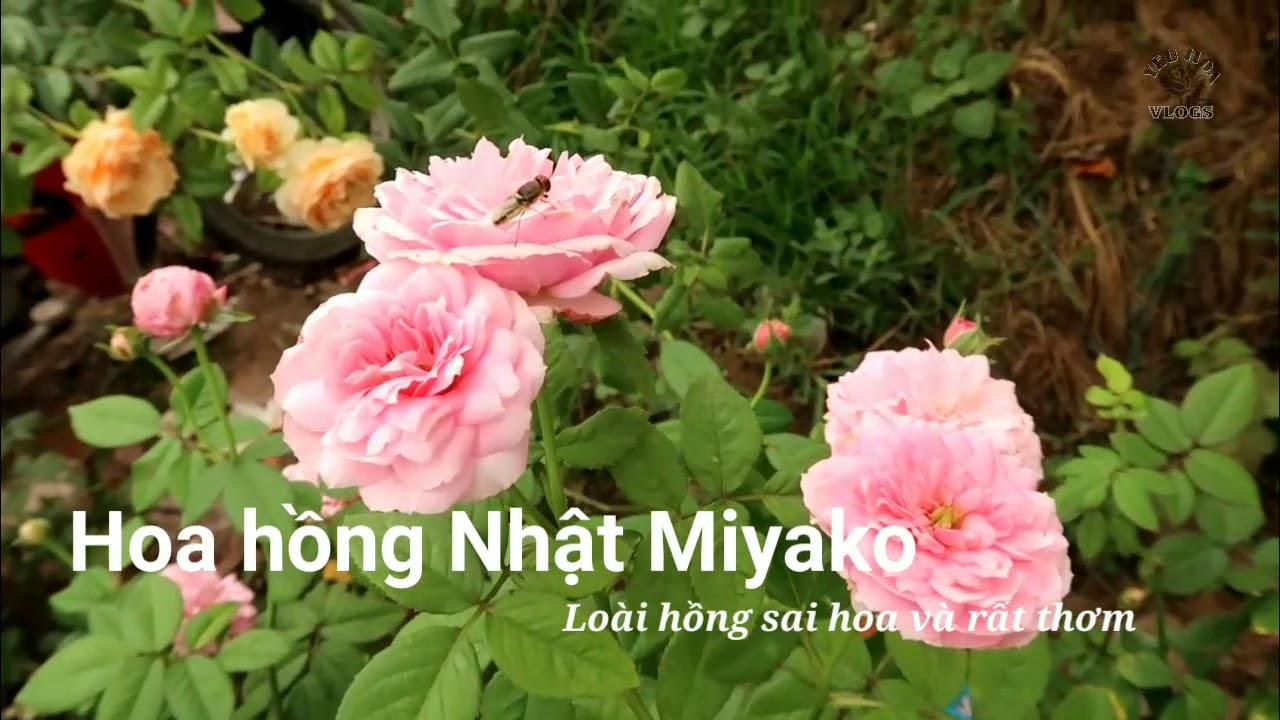 Cuối tuần ngắm cây hoa hồng Miyako sai hoa tuyệt đẹp